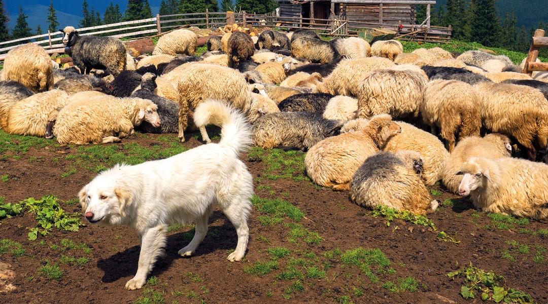Tasavvuf Kültüründe Köpek